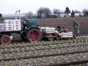 Salatpflanzmaschine